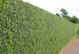 Hedge Trimming Clapham